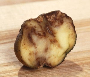 Potato infected with